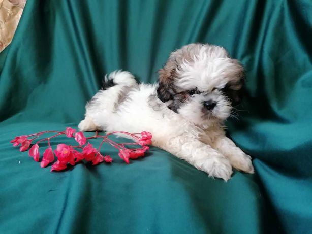 cachorro shih-tzu registado no CPC
