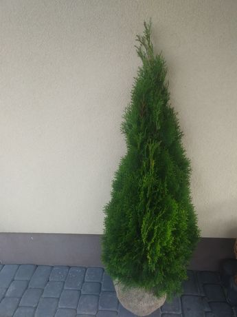 Rododendron_Azalia_Hortensje_Tuje Brabant_Szmaragd_Katalpa_bukszpan