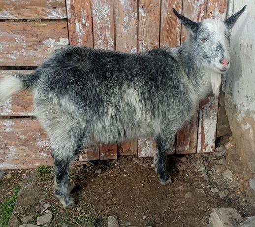Продам молодую козу