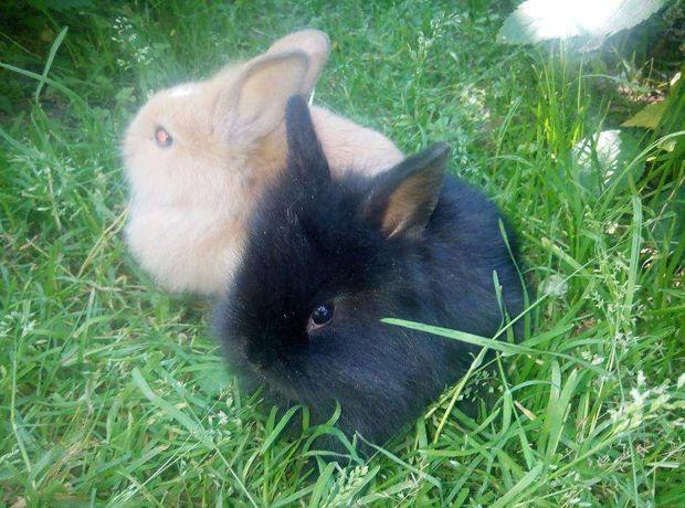 декоративные мини крольчата
