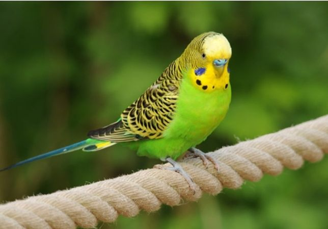 Papuga Falista samiec standard+ druga Gratis