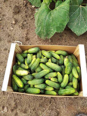Ekologiczne warzywa-ogórki,koper.