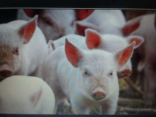 поросята  , мангал, українська степова свині свиноматки,кнурі