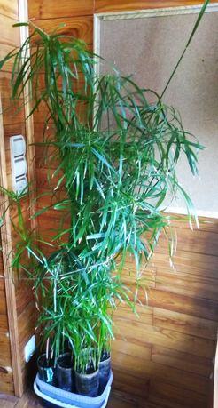 Циперус раскидистый. 120 см высотой.