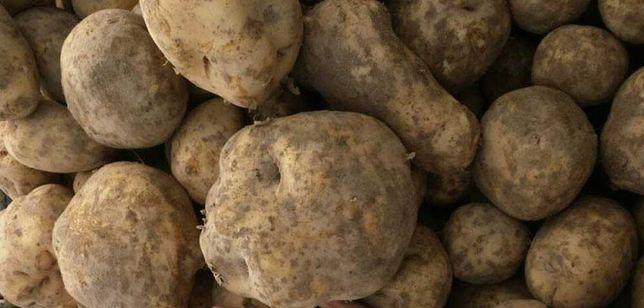 Stare Ziemniaki  do spasenia