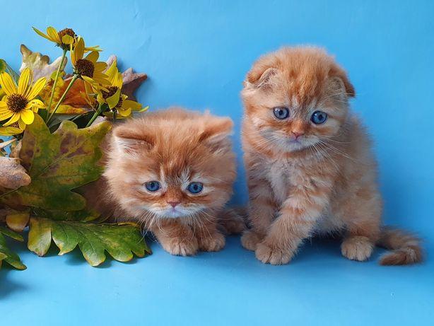 Шотландские котята, няшные малыши, толстенькие пирожульки. Котята