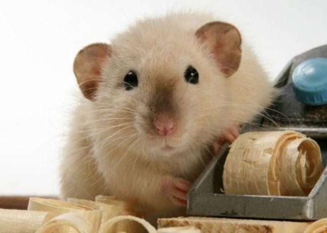 Szczur Syjamski