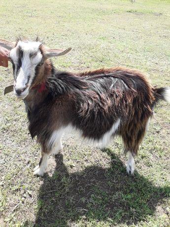 Продаю дойную козу