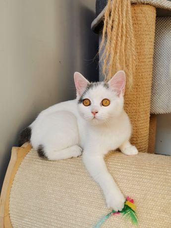 Kot Brytyjski gotowe do odbioru kotki i kocurki
