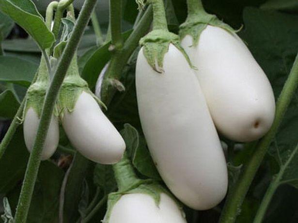 Баклажаны семена
