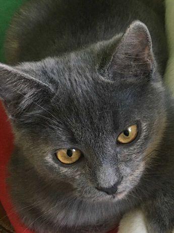 Кошеня британка Мейсі шукає турботливу родину