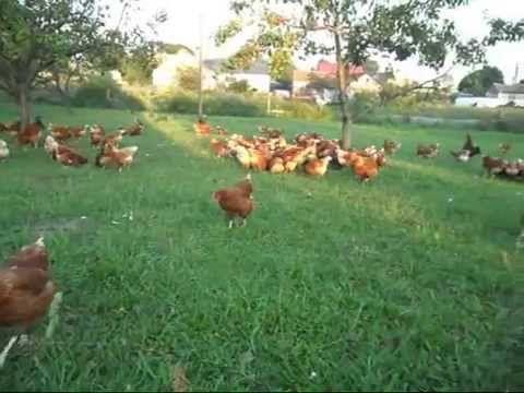 Jaja kurze, jajka świeże, wiejskie 100% ekologiczne, bez glifosatu GMO