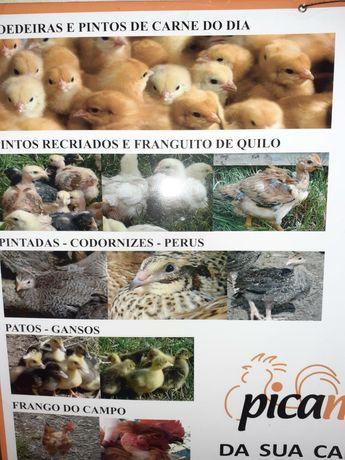 Várias aves de capoeira ( pintos patos coordonizes poedeiras perus etc
