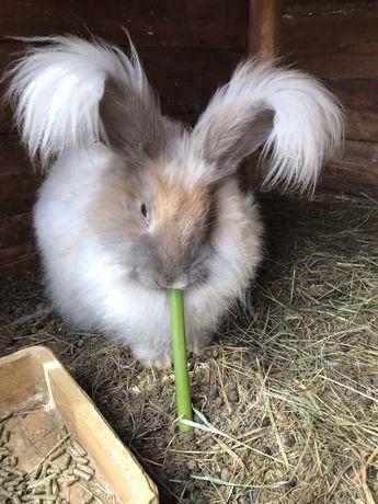 Króliczek Yorczek,mini angora,Teddy,królik do strzyżenia