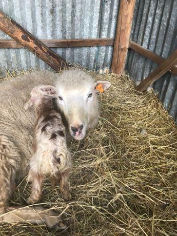 zamienie owce na kruliki kury