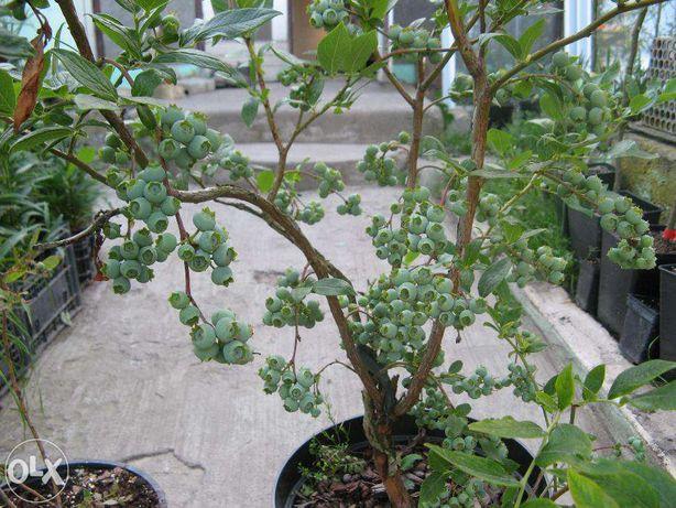 Голубіка (чорниця садова)