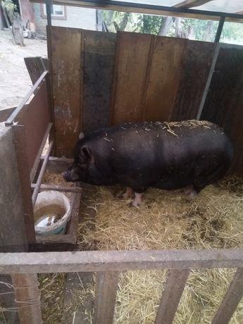 В'ятнамські свині
