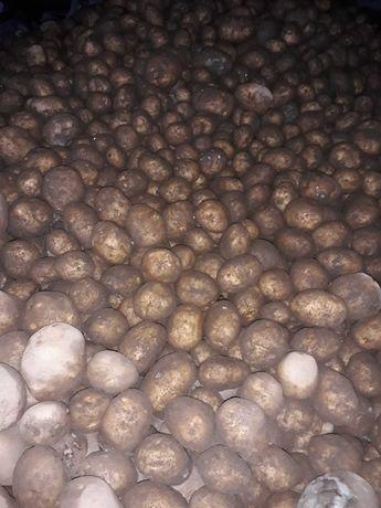 Ziemniak Vineta niesort