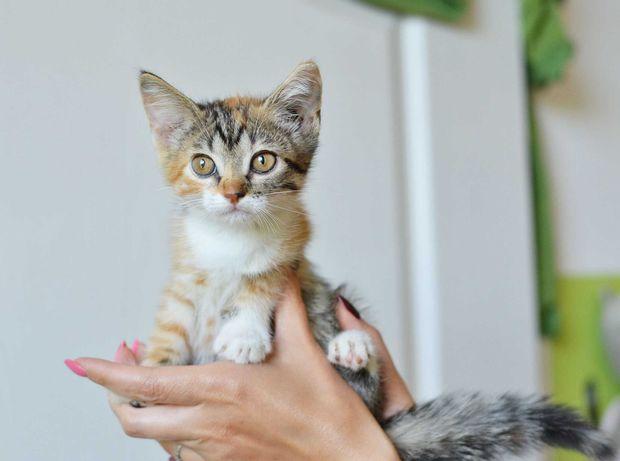 Ласковый трехцветный котенок (кошечка) Тутся, 2 мес ищет добрые руки
