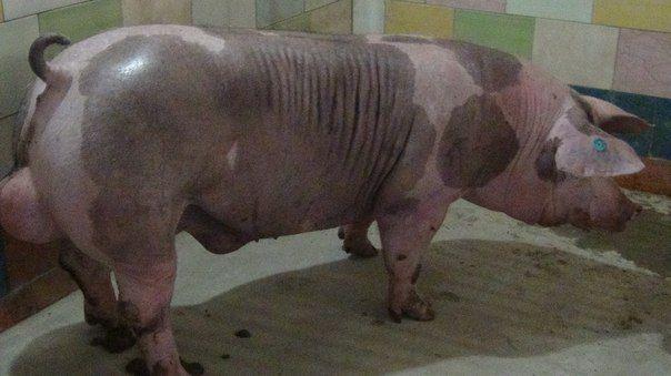 Штучне запліднення свиней, спермодози, Рівненська обл