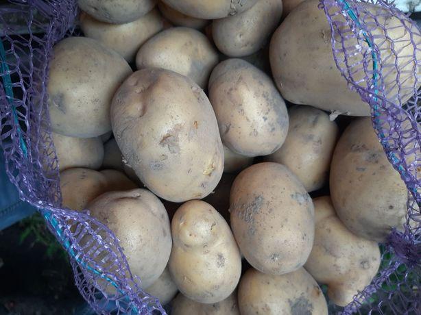 Картопля домашня. Картофель.Картошка.