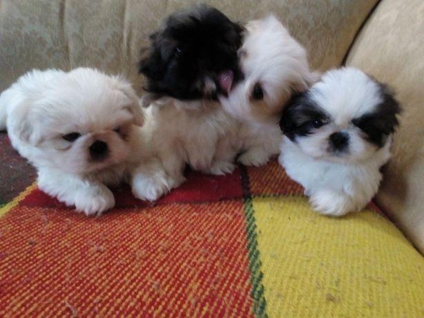 Ши-Тцу  щенки малыши