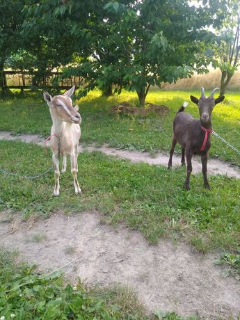 Sprzedam dwie kozy