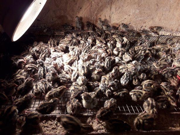 Jaja lęgowe przepiórek japońskich