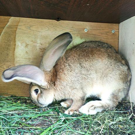 Продам пару крольчих.