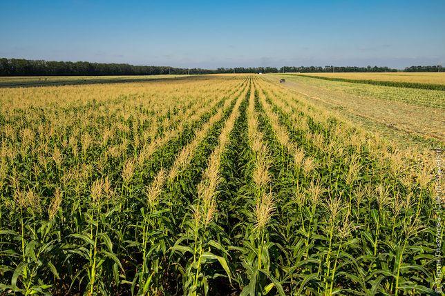 """семена кукурузы """"Моника 350"""""""
