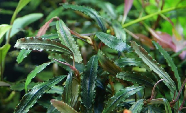 Bucephalandra sekadau 1- rarytas