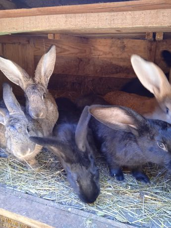 Продаються кролі самки та самці