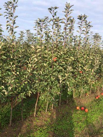 Фермерське Господарство реалізує високоякісні саджанці яблуні