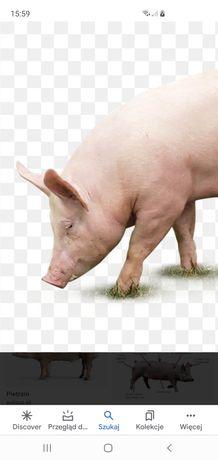 Sprzedam świnię ekologiczne!!!