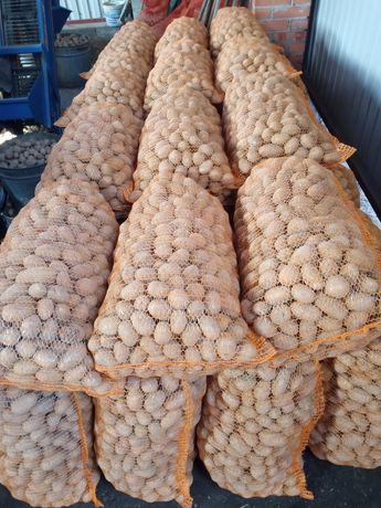 Ziemniaki Do sadzenia kal 3,5-4,5