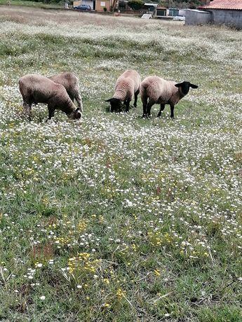 Ovelhas borregos carneiros