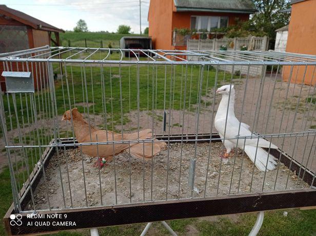 Gołębie sokoły gdańskie