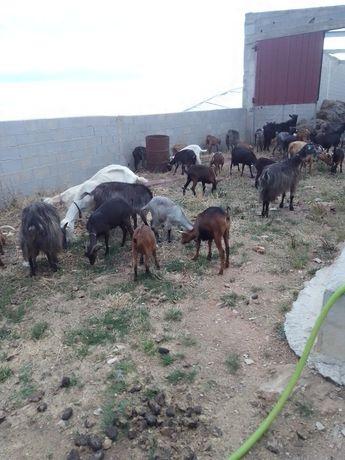 Cabras murcianas e serranas
