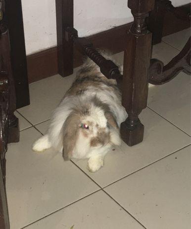 Coelha domestica com pelo longo