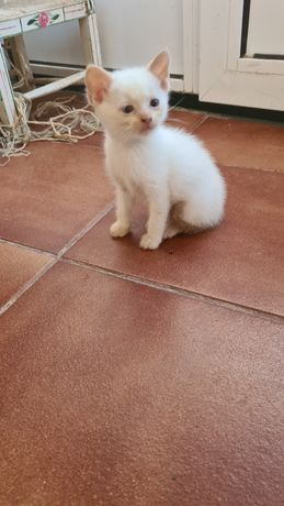 Gatinho branco lindo