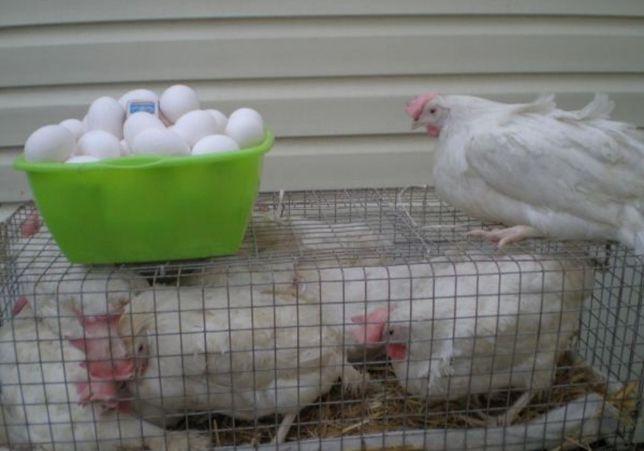 Несушки белые куры