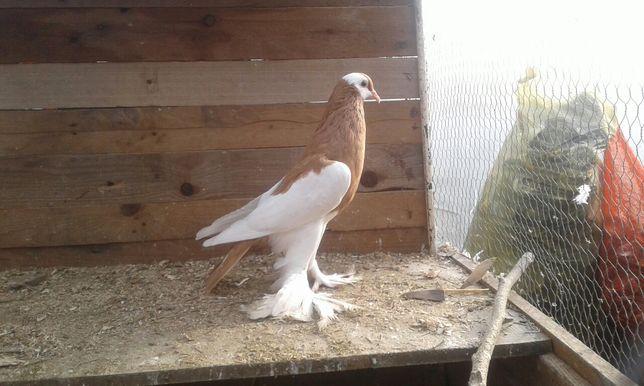 Samica 2020 rok garłacz czeski garłacze czeskie ptaki gołębie ozdobne