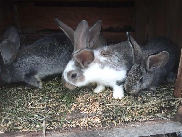 Sprzedam króliki 2 sztuk z 4 sztuk do wyboru samce
