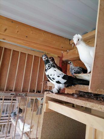 Gołębie ozdobne Sokoły, widyny, srariki i inne