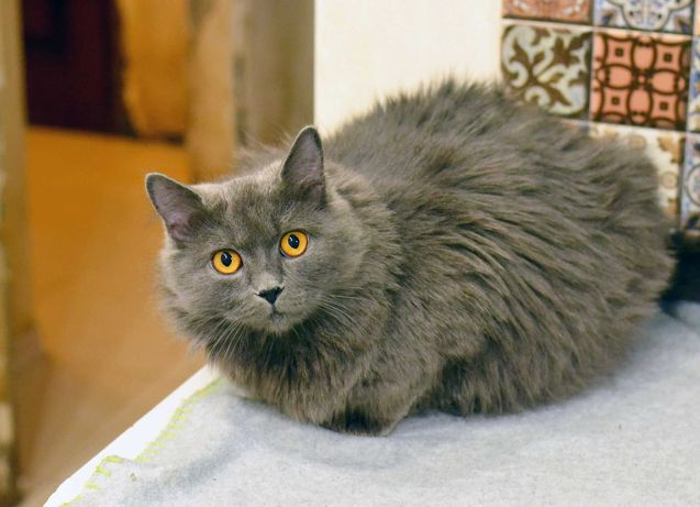 Пепельная пушистая красотка, кошка Шанель (1 год)
