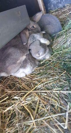 Na sprzedaż 5 królików Olbrzym Belgijski