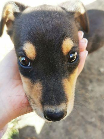 Отдам щенка в хорошие руки, срочно. Белая Церковь, Киев