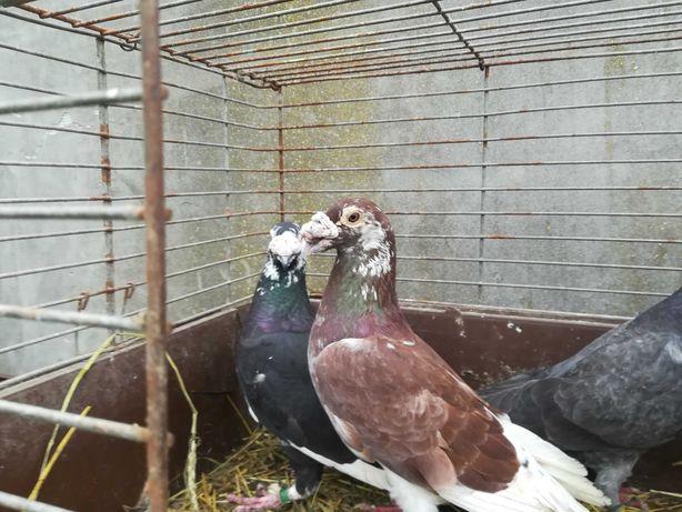 Gołębie staropolskie młode