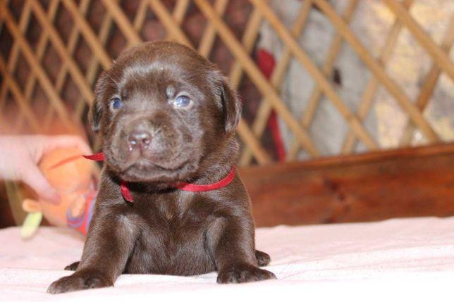 Очень красивые щенки лабрадора-ретривера коричневого окраса