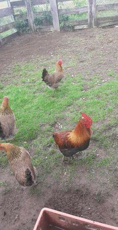Jajka, jaja lęgowe i konsumpcyjne kury zielononóżki